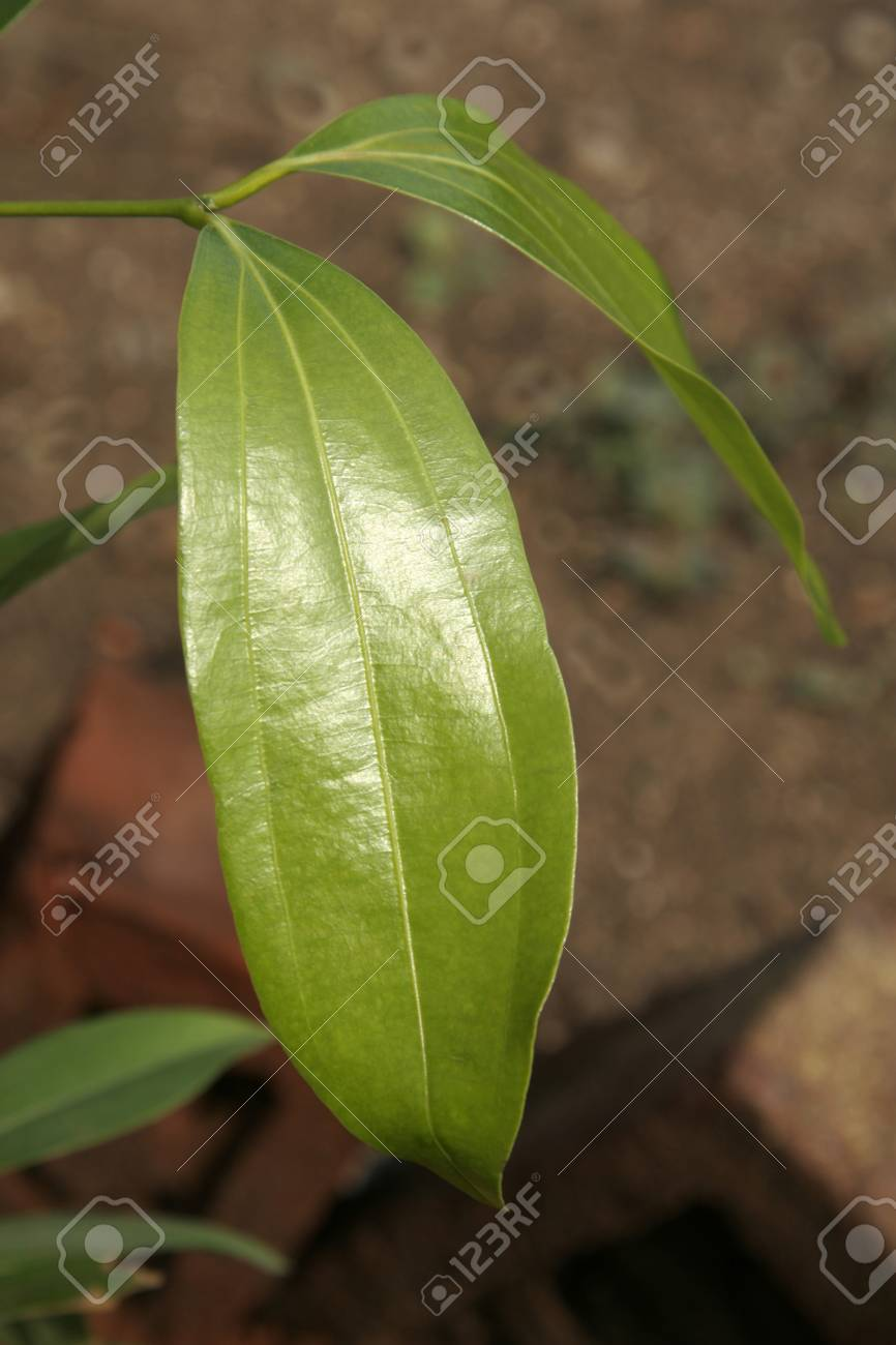 Ayurvedic medicinal plant,Scientific name cinnamomum tamala,English