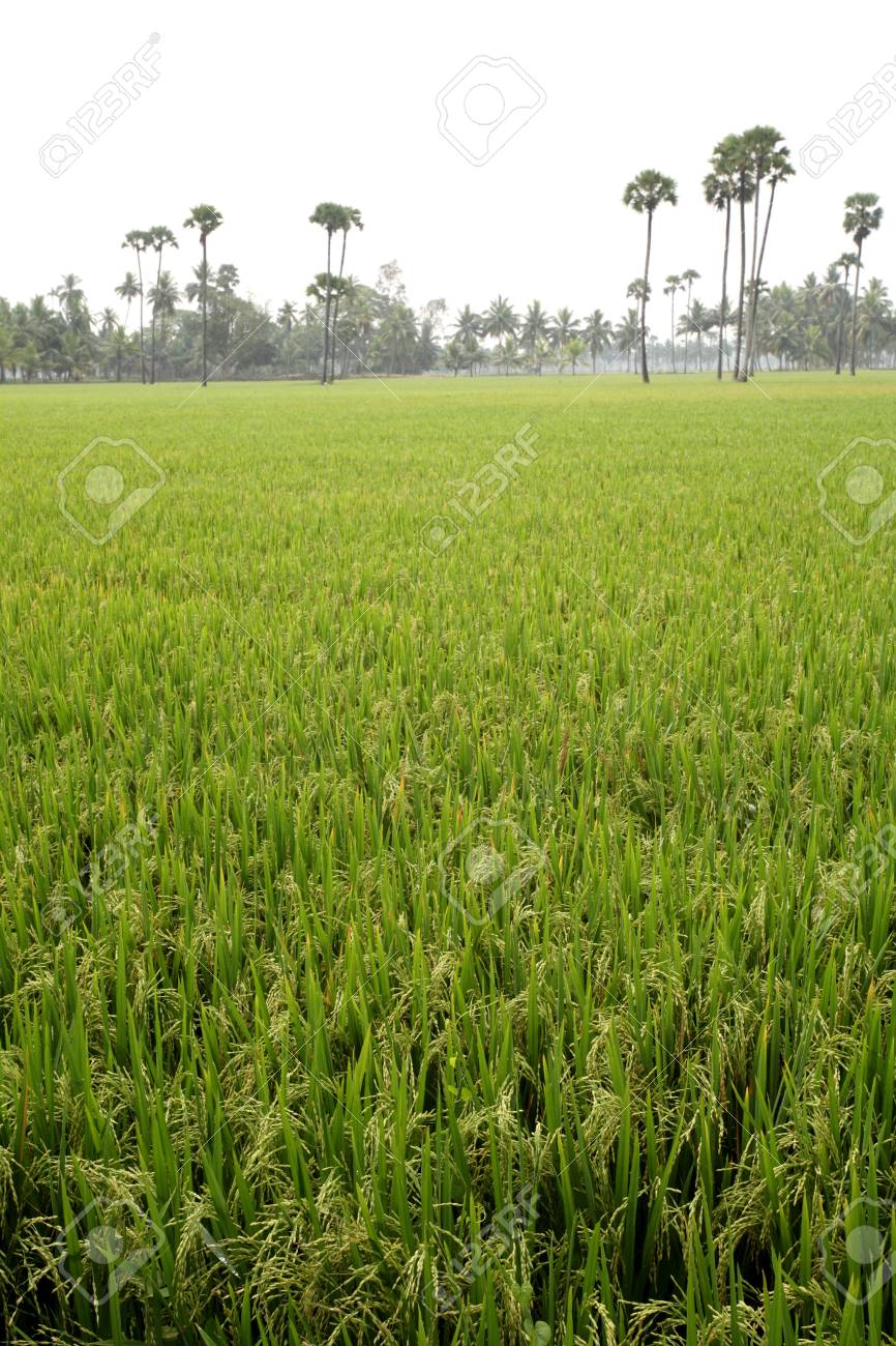 Lush green rice plants in paddy field with palm trees in village,Tamil
