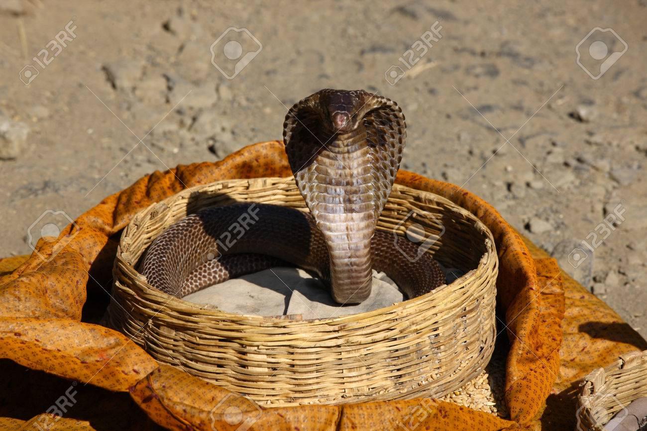 Indian Cobra in Charmer Basket India