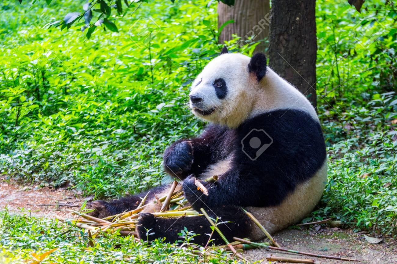Grosser Panda Bar Ailuropoda Melanoleuca Sitzen Und Frischem Bambus
