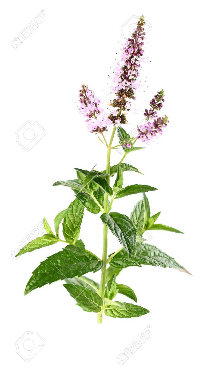Beauty mint flowers Stock Photo - 15819738