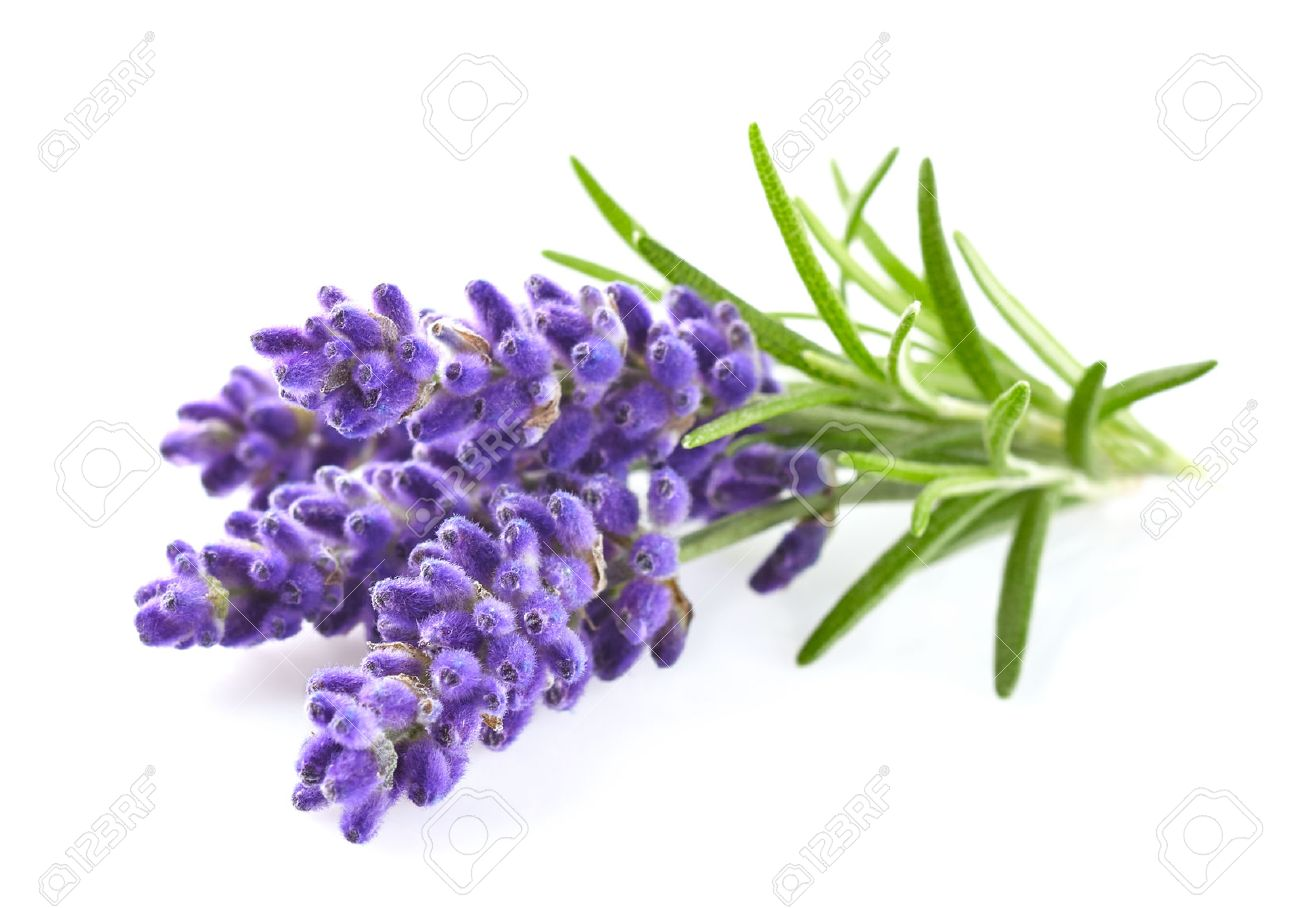 Lavender Flowers Stock Photo Picture And Royalty Free Image