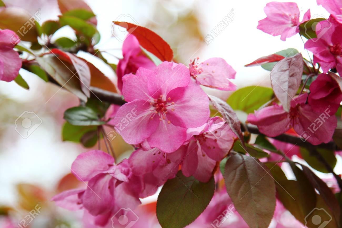 Pink Crab Apple Flower In Spring Season Selective Focus Stock Photo