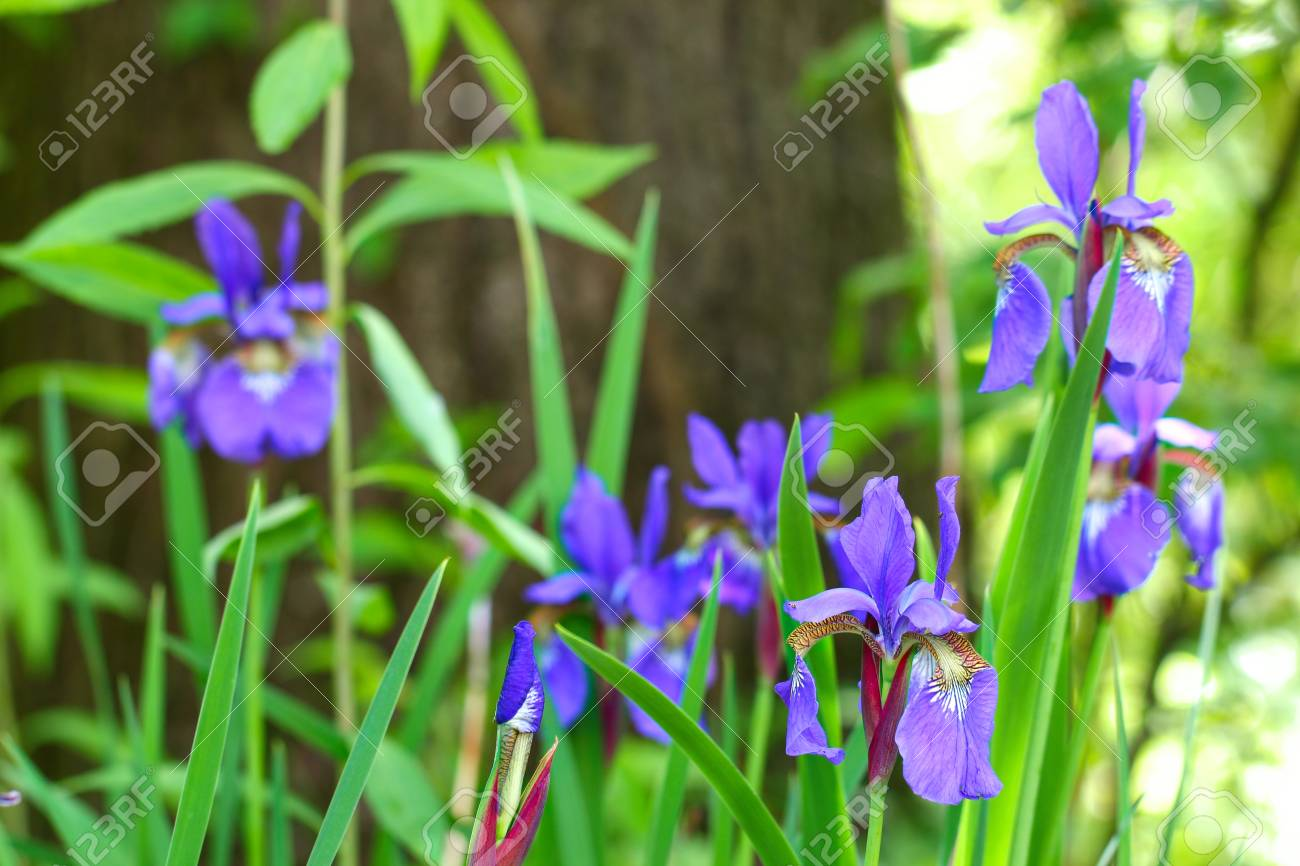 Purple Iris flowers on a green background, selective focus. Stock Photo - 79729590