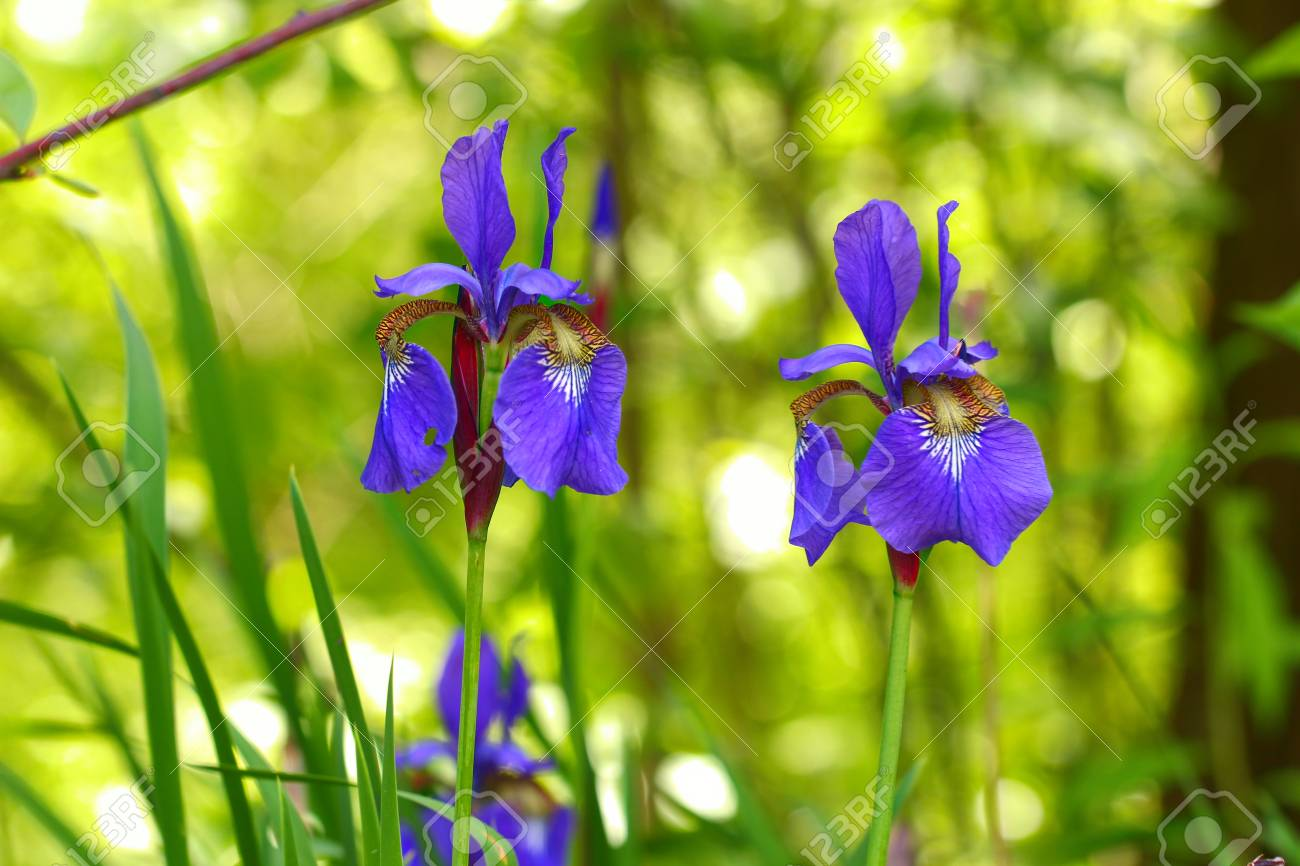 Purple Iris flowers on a green background, selective focus. Stock Photo - 79726658