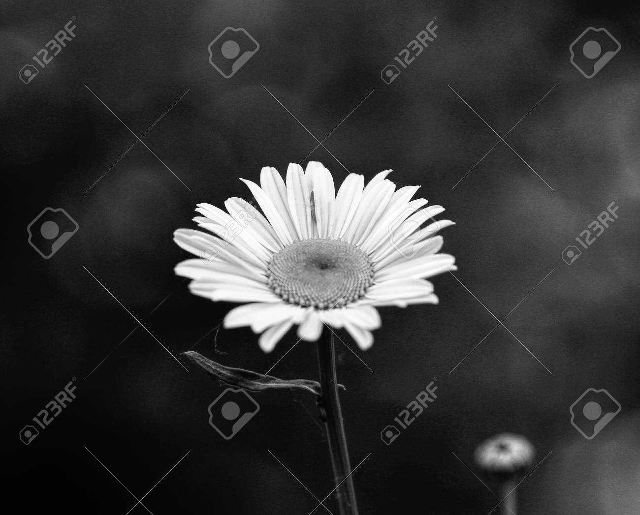 Daisy flowers in the summer season, selective focus Stock Photo - 79726652