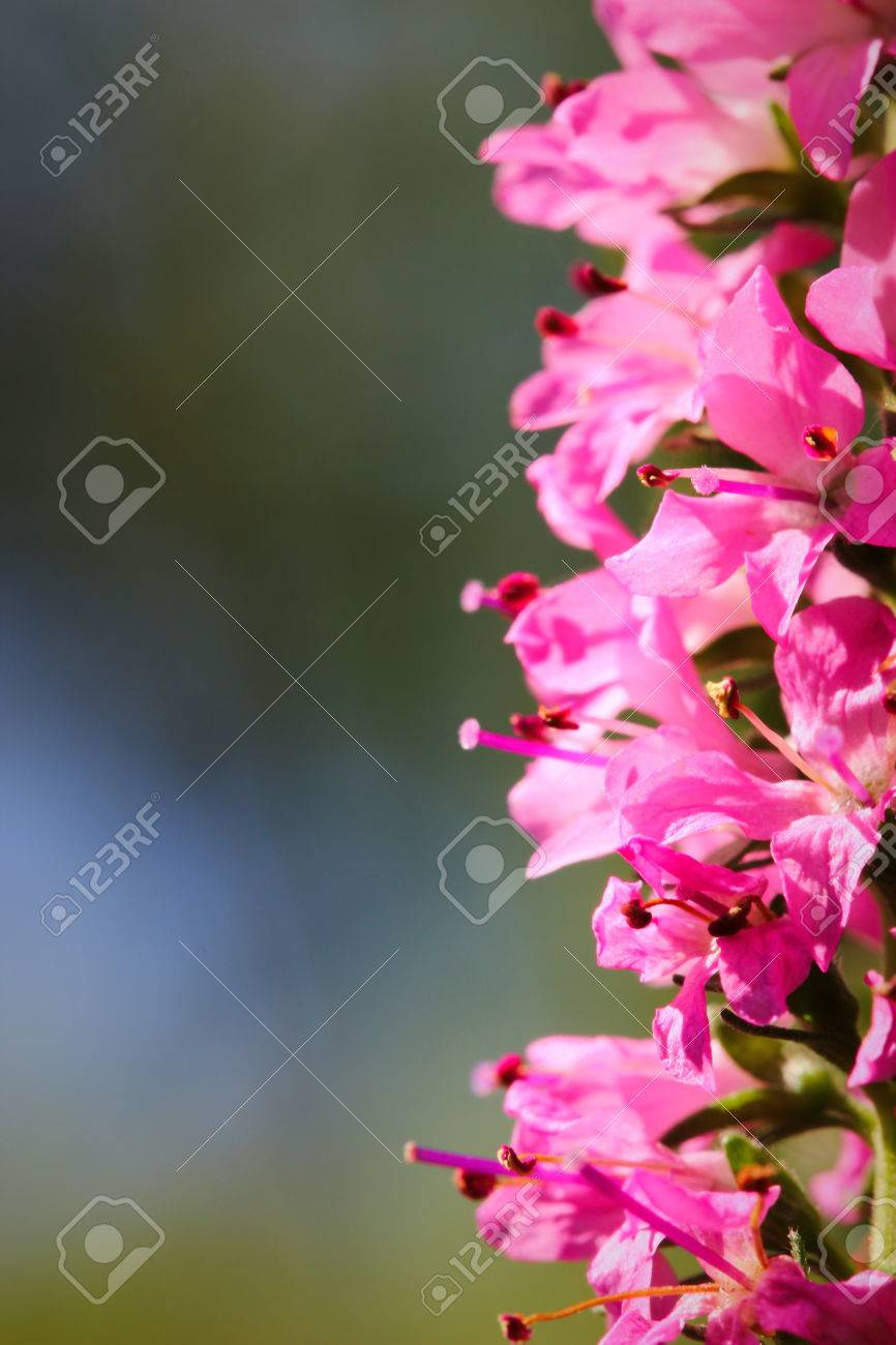 A close up of Spikes of pink Veronica flowers, selective focus Stock Photo - 79726666