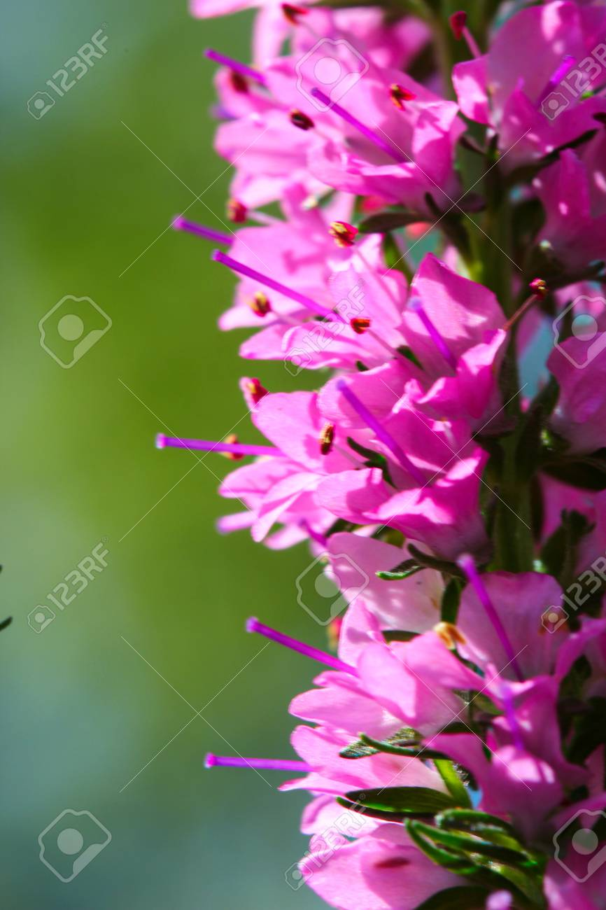 A close up of Spikes of pink Veronica flowers, selective focus Stock Photo - 79729593