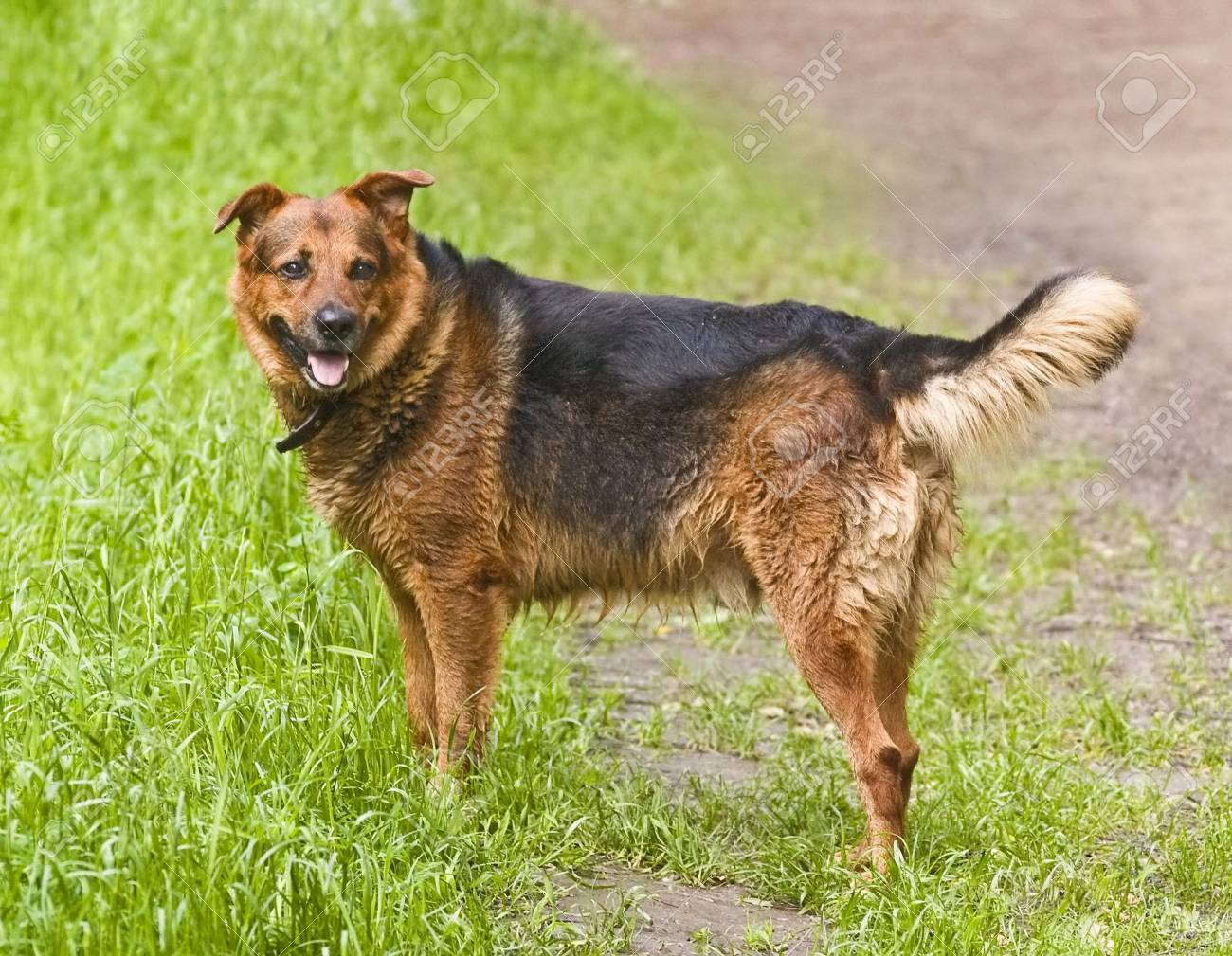 Wet dog on grass Stock Photo - 5076837