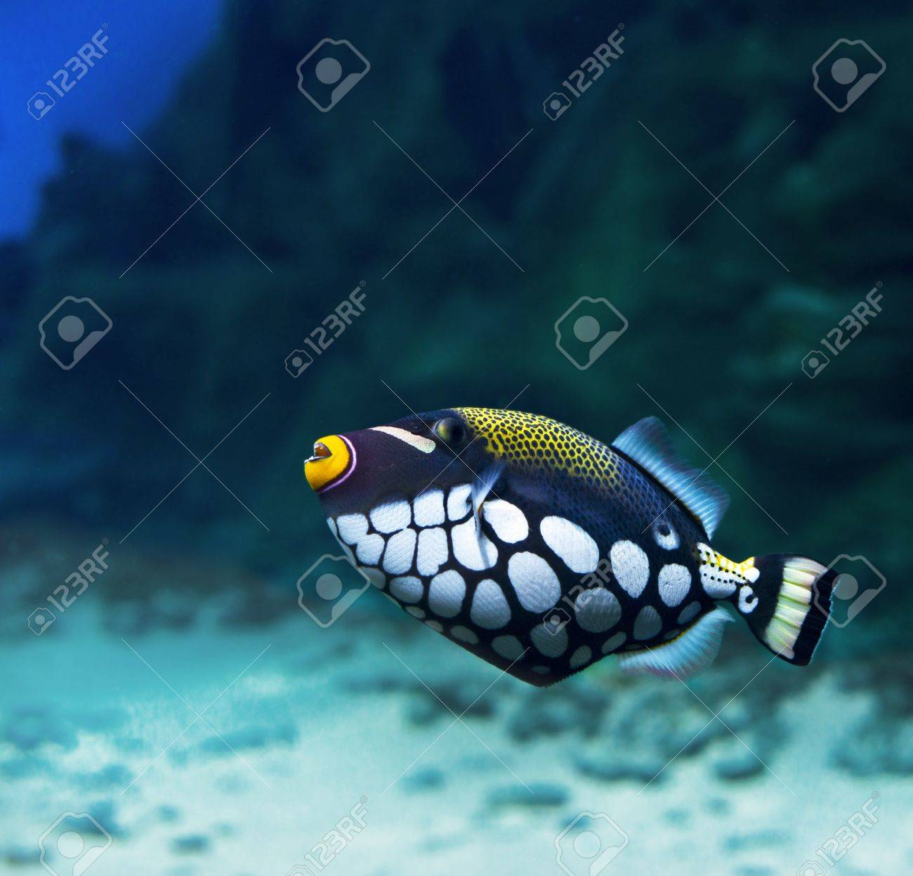 Trigger-fish  Crossbow-clown, Balistoides Conspicillum Stock Photo - 19663131
