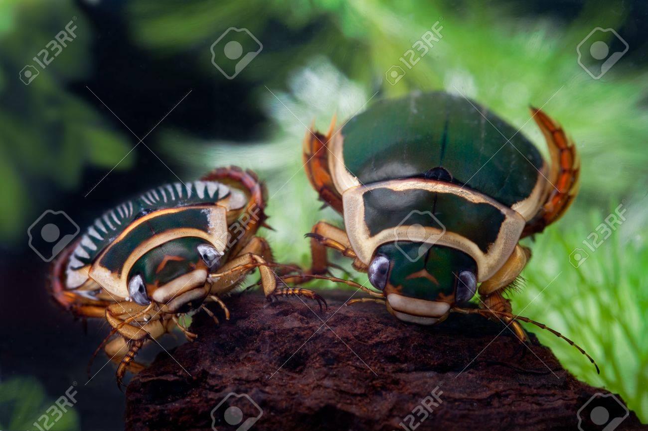 great diving beetle dytiscus marginalis close up portrait Stock Photo - 5489035