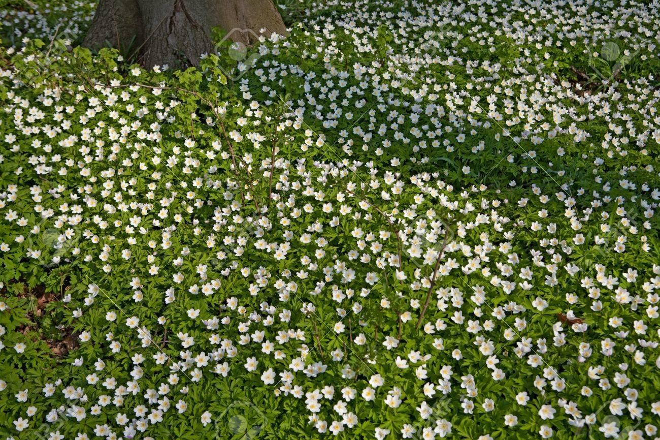 White wild flowers wood anemone nemorosa in early spring forest stock photo white wild flowers wood anemone nemorosa in early spring forest flower carpet windflower woodland landscape mightylinksfo