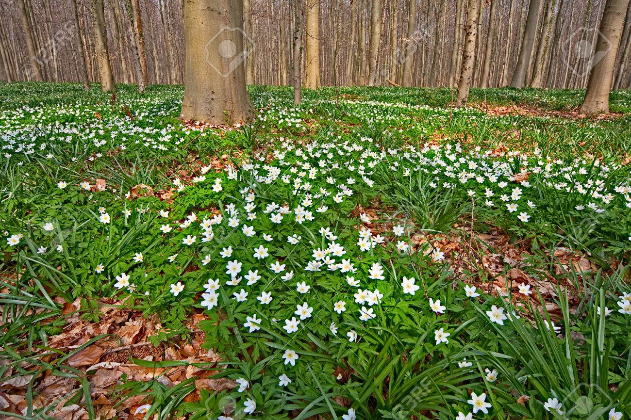 White Wild Flowers Wood Anemone Nemorosa In Early Spring Forest