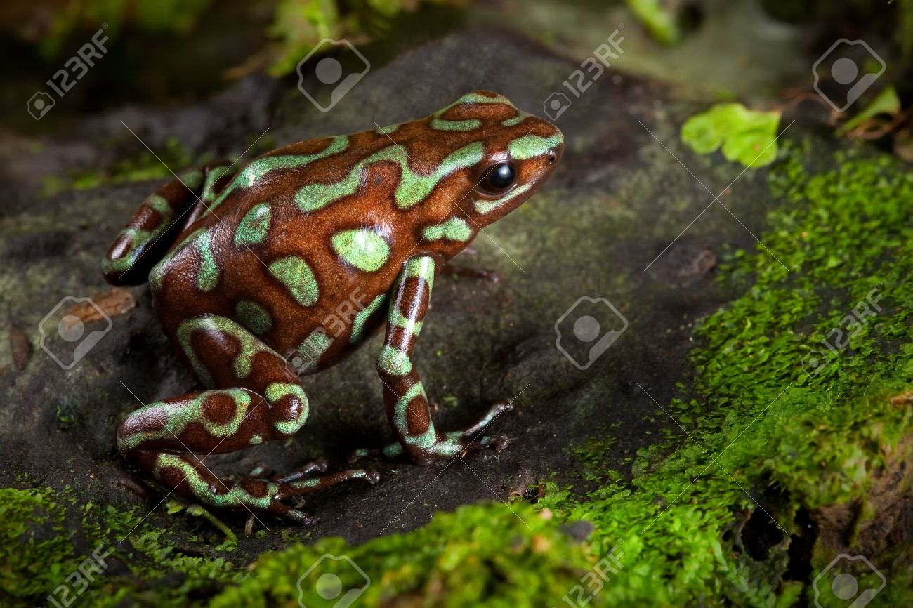 golden poison frog, dendrobates auratus lives in the central american rain forest of Panama. Beautiful animal kept as a pet in a tropical jungle terrarium. an exotic poisonous amphibian bright colors. Stock Photo - 10087512