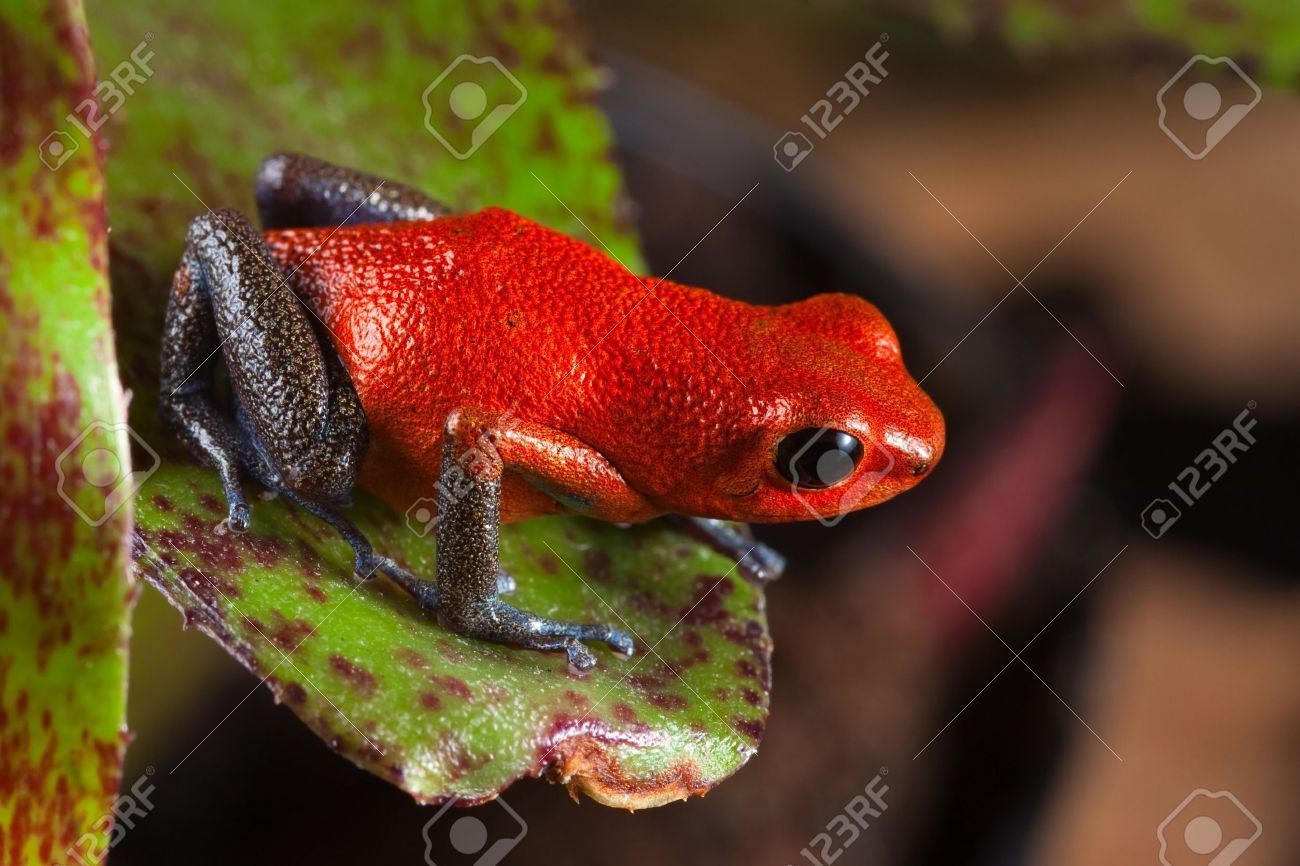 red frog from Costa Rica or panama poison dart frog on leaf in central American rain forest. . Beautiful poisonous pet animal. Endangered amphibian of the tropical jungle. strawberry frog - 10087510