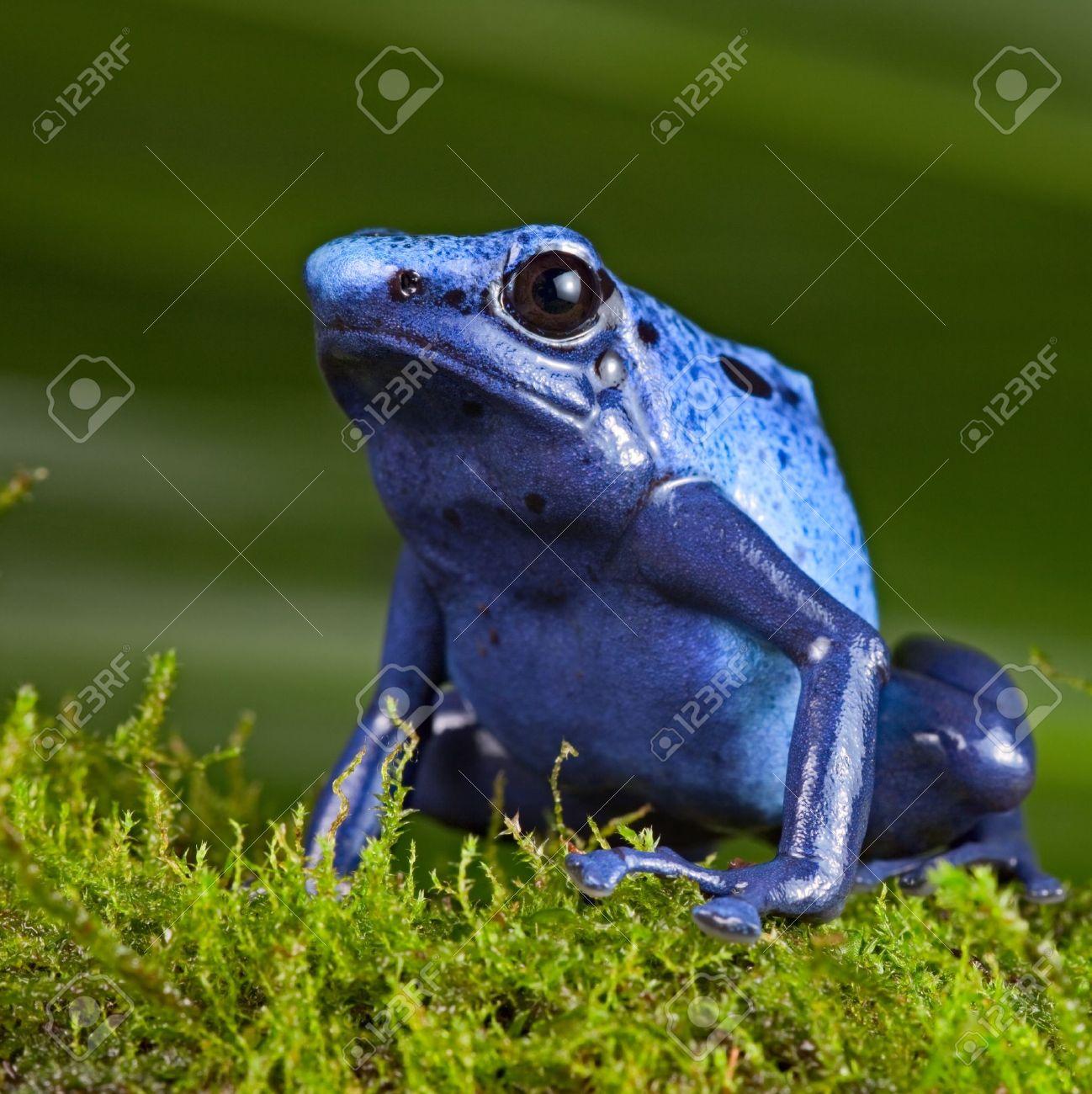 blue poison dart frog, poisonous animal of Amazon rainforest in Suriname, Endangered species kep as exotic pet in rain forest terrarium, jungle amphibian Stock Photo - 11289466