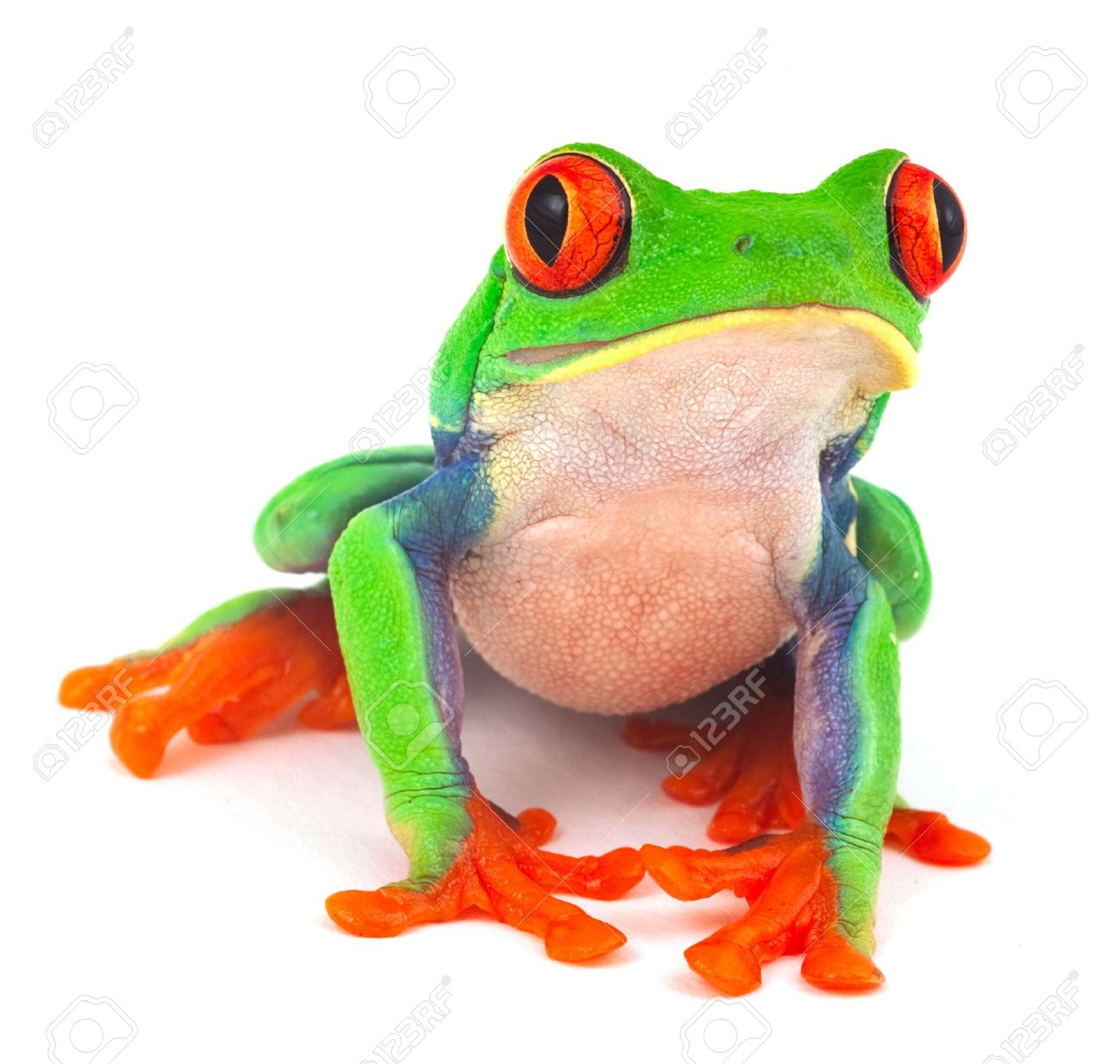 red eye treefrog macro isolated exotic frog curious animal bright vivid colors - 12068752