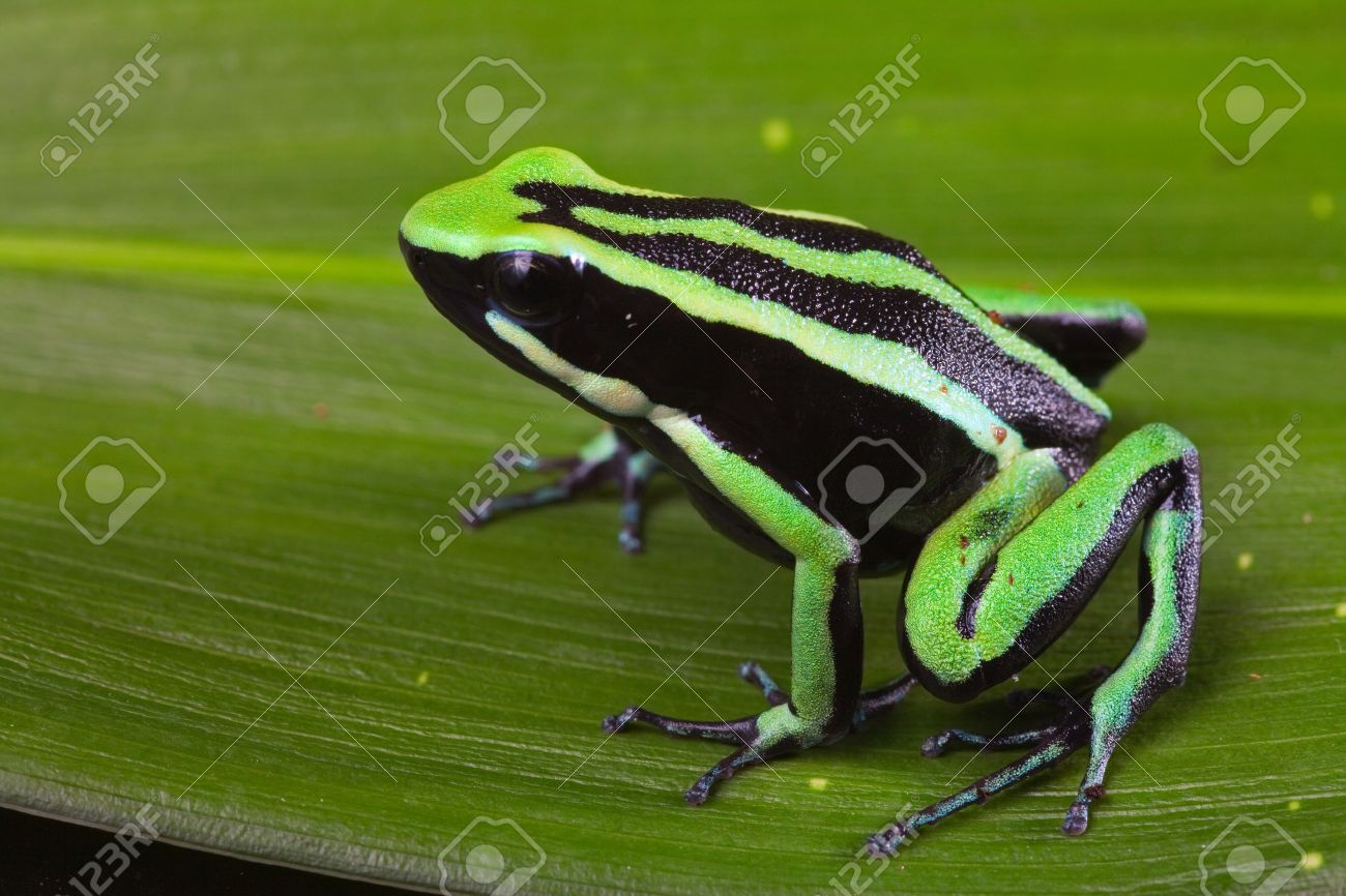 striped poison dart frog sitting on green leaf in Amazon rain forest Cute poisonous pet animal in terrarium Stock Photo - 12068757
