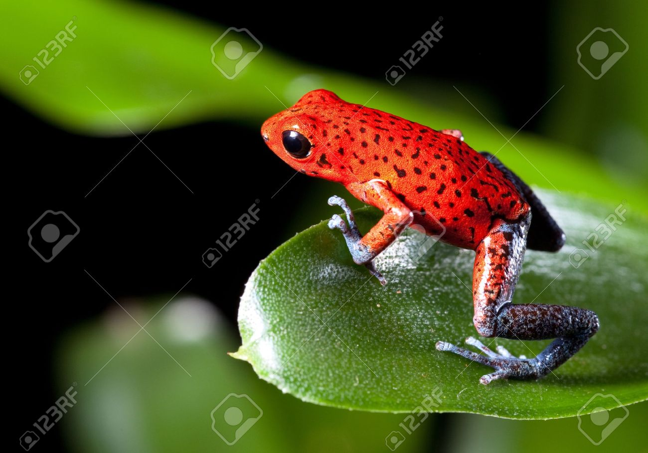 Costa rica frog royalty vrije foto's, plaatjes, beelden en stock ...