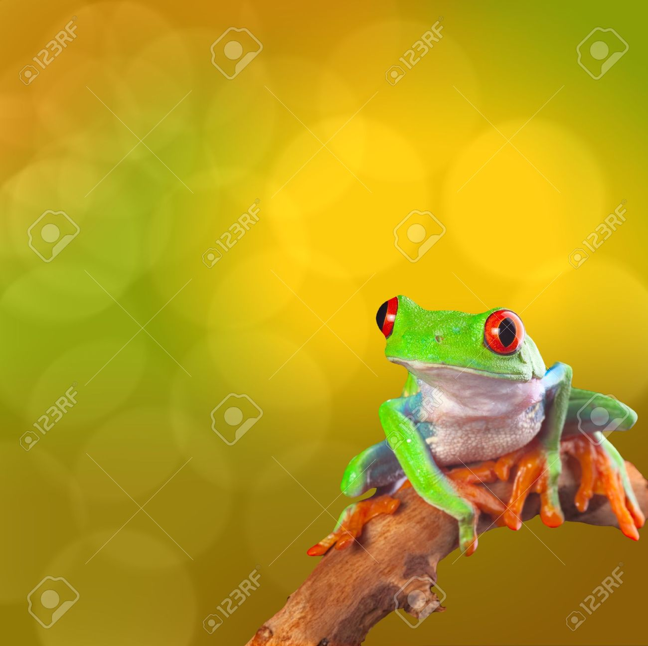 Red eyed tree frog from Costa Rica rain forest. Beautiful tropical treefrog on a bright background with copy space. Exotic rainforest animal with cute and funny looks. Agalychnis callidryas - 19561460