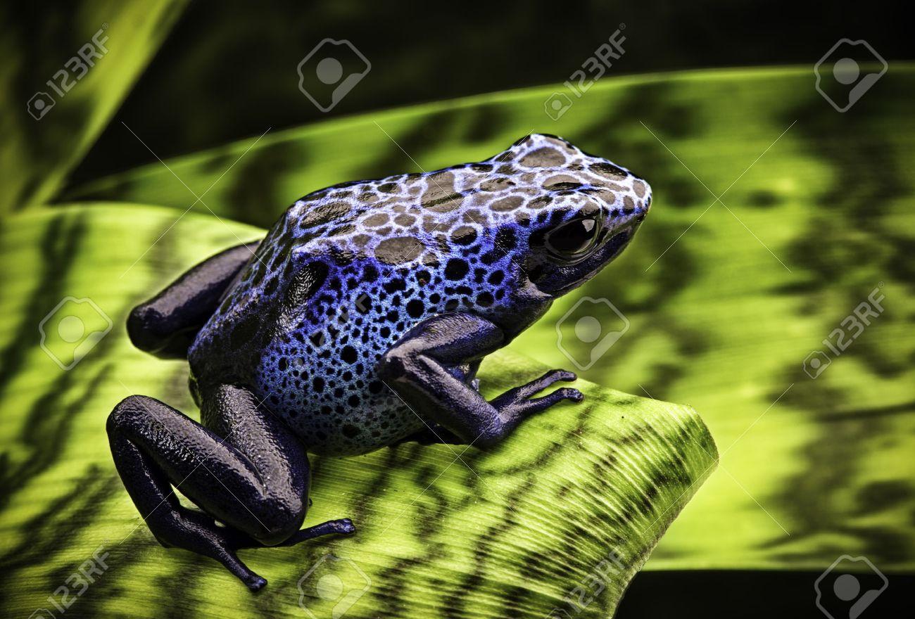 Super Bleu Dendrobatidae Dendrobates Azureus. Une Belle Amazone  JP82