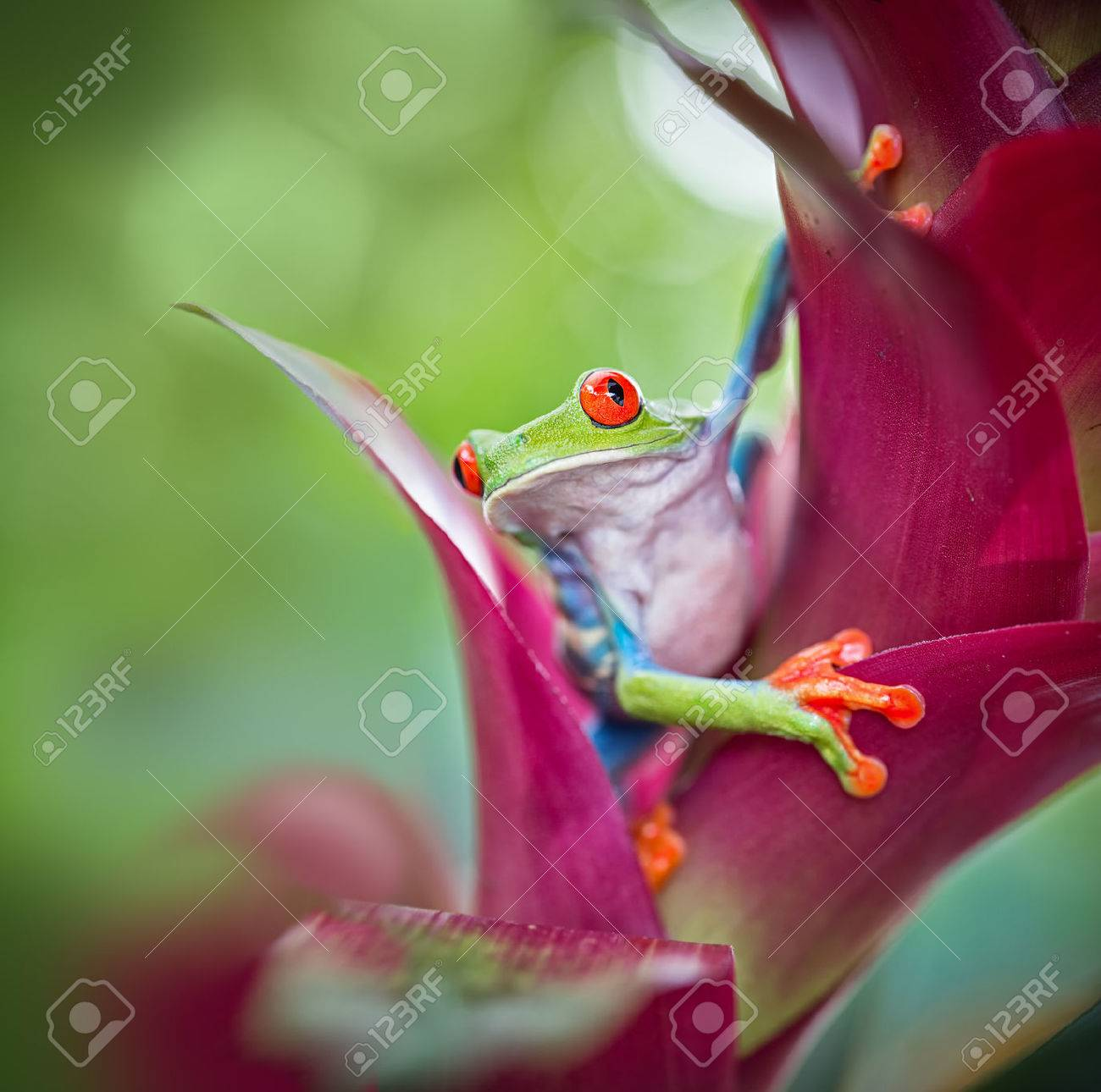 red eyed tree frog from the tropical jungle of Costa RIca, Nicaragua and Panama? macro of an exotic rain forest animal, rainforest treefrog - 44461753
