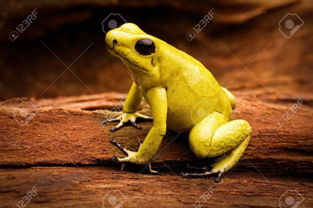 Giftiger Frosch, Giftpfeilfrosch Phyllobates Bilis Ein Gefährliches ...