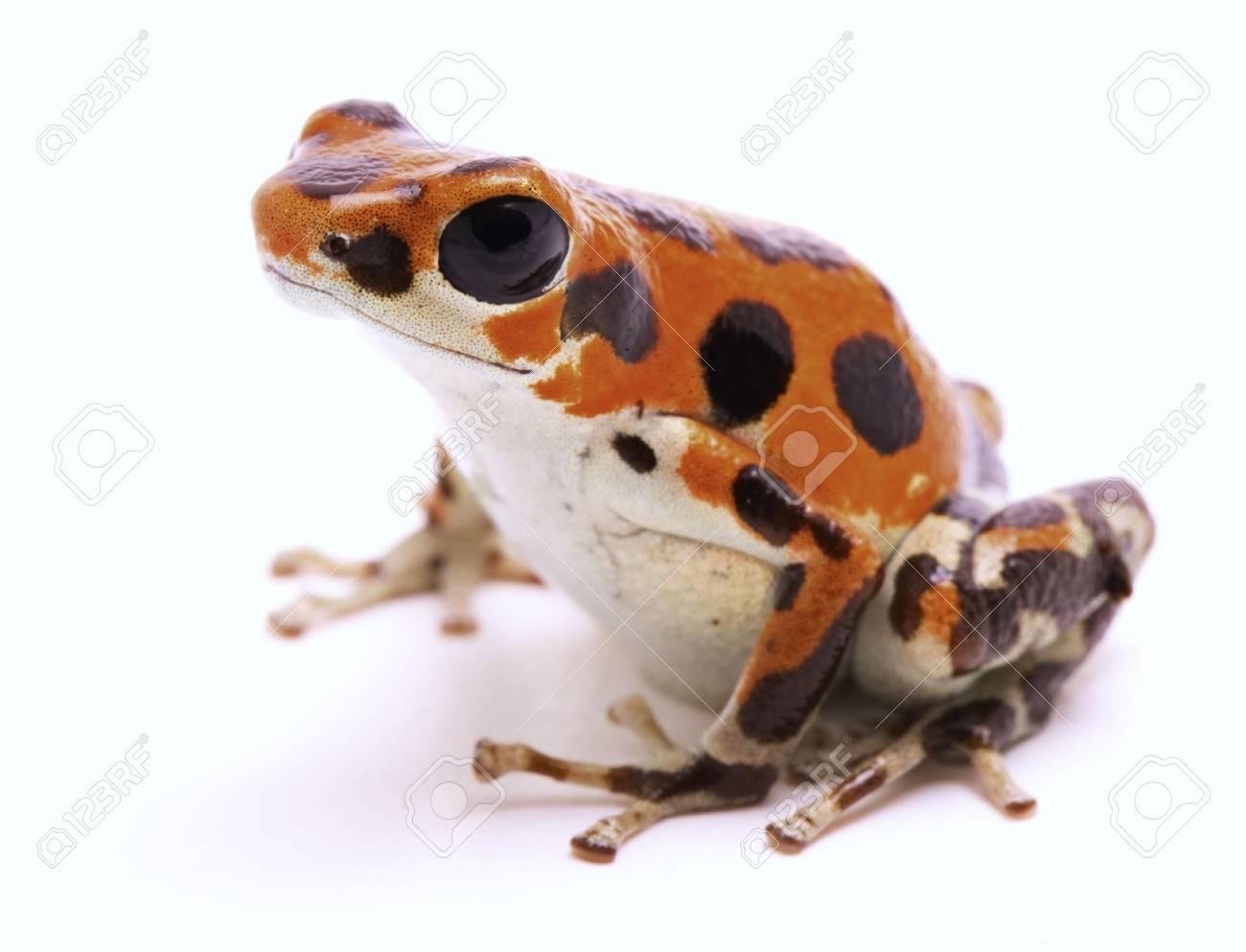 Image result for red frog