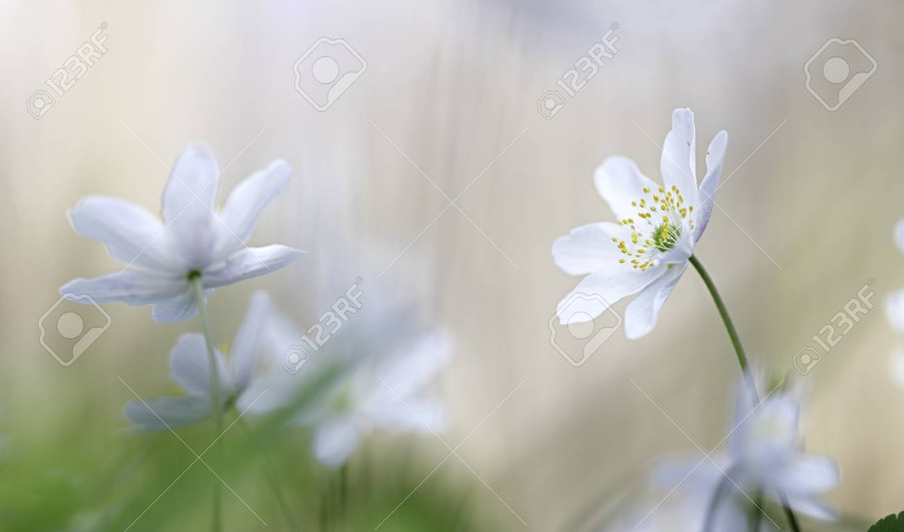 Stock photo wood anemone a white early spring wild flower these flowers cover the forest floor spirituality and purity of unspoiled wilderness