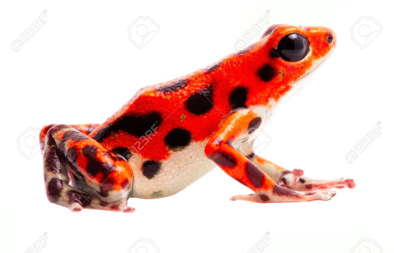 poison dart frog from red frog beach bastimentos panama tropical