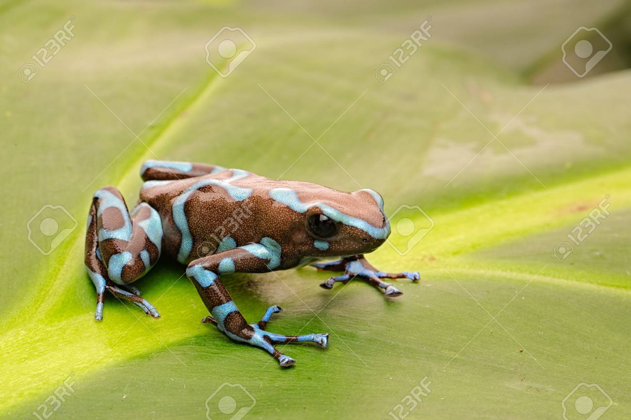 Poison arrow frog, Dendrobates auratus from the tropical rain forest of Panama. - 119076449