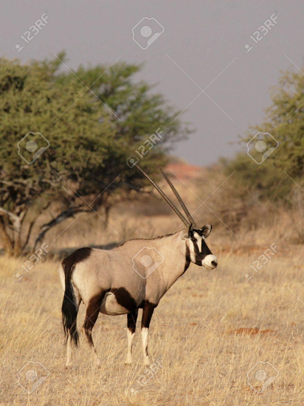 Gemsbok (Oryx gazella) in the Kalahari Desert, Namibia Stock Photo - 4783418