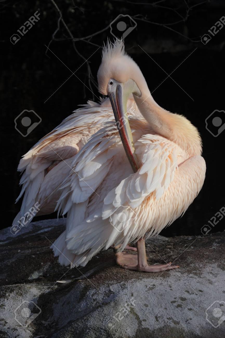 Pelican (Pelecanus onocrotalus) grooming his feathers Stock Photo - 4783220