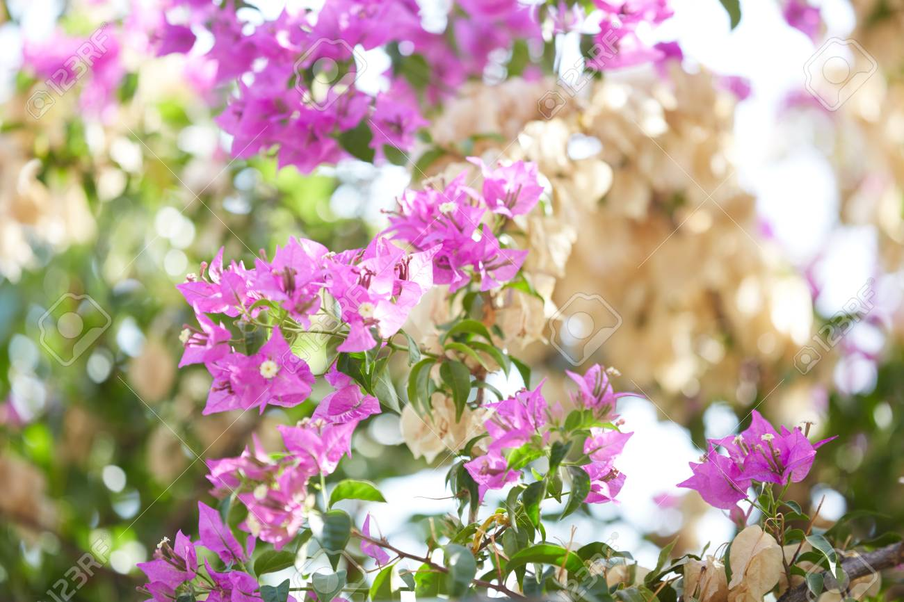 Pink Flowers On The Trees In Montenegro Stock Photo Picture And