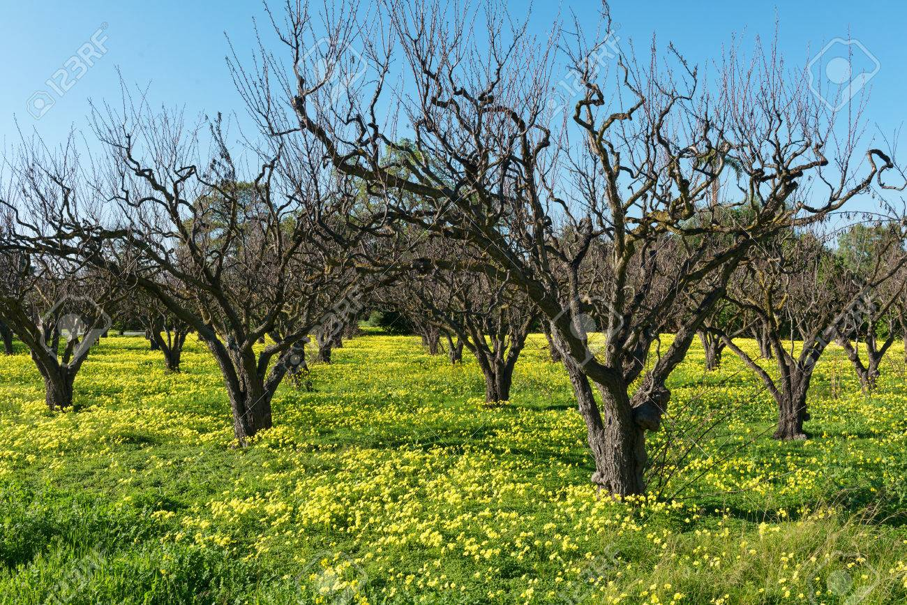 Barren fruit trees and spring flowers sunnyvale california stock barren fruit trees and spring flowers sunnyvale california stock photo 37288523 mightylinksfo