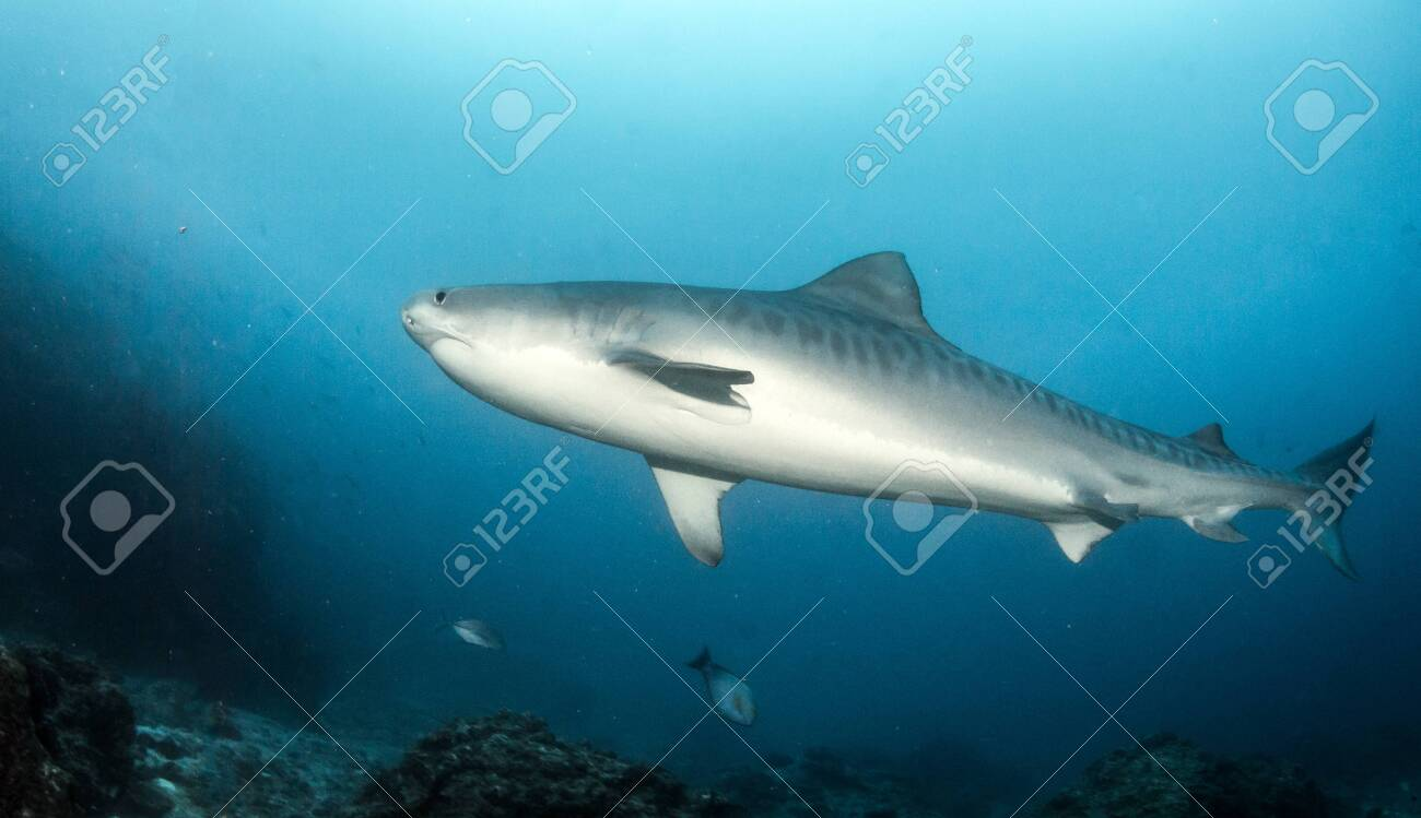 Picture shows a Tiger shark at Tigerbeach, Bahamas - 136684155