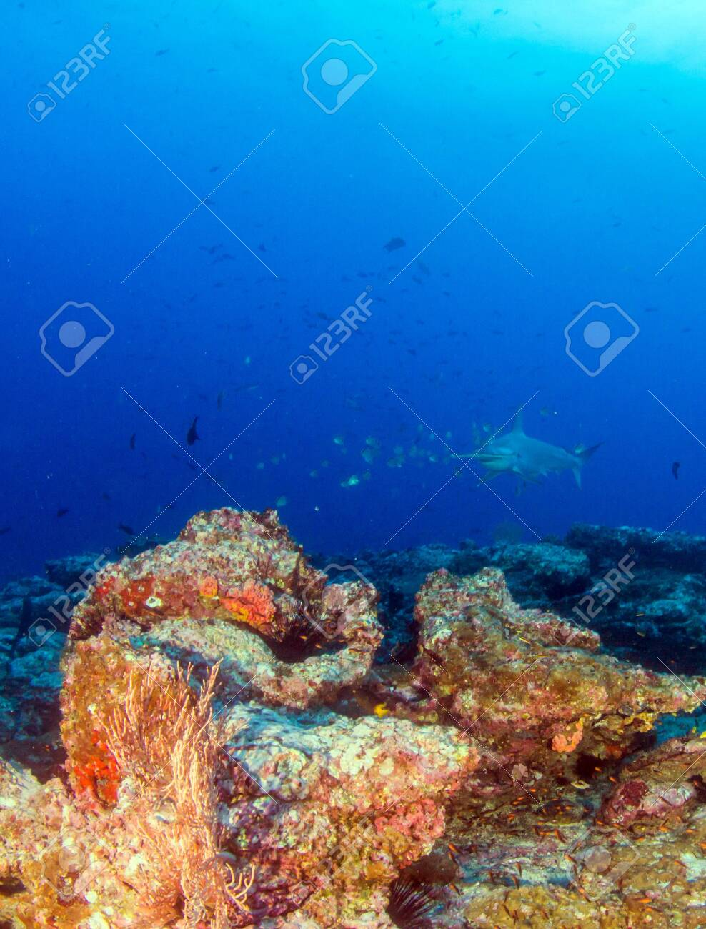 Picture shows a Hammerhead Shark at Cocos Island, Costa Rica - 137858993