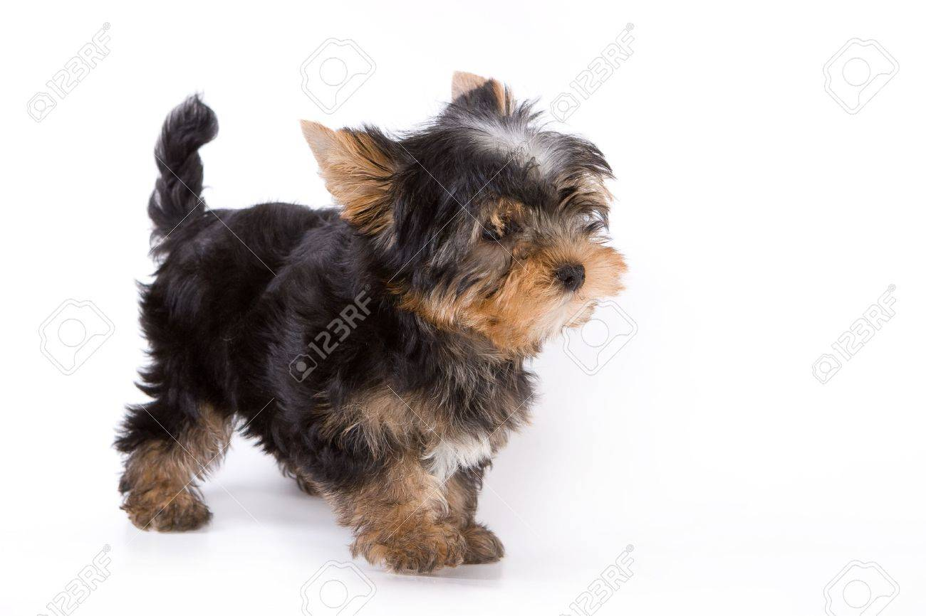 Yorkshire Terrier (Yorkie) puppy standing on a white background. Stock Photo - 2262882