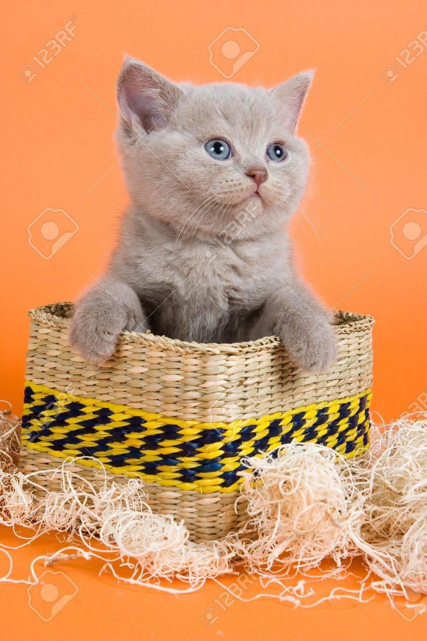 British Shorthair Kitten In Decoration Orange Background Stock