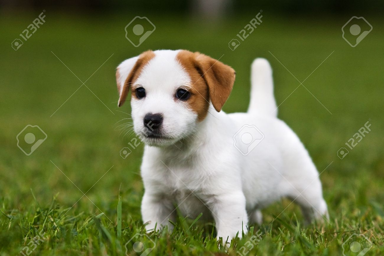 jack russell terrier puppy on grass stock photo picture and royalty