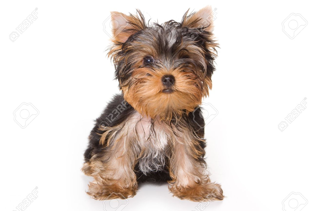 Yorkshire Terrier Puppy On White Background Stock Photo Picture And