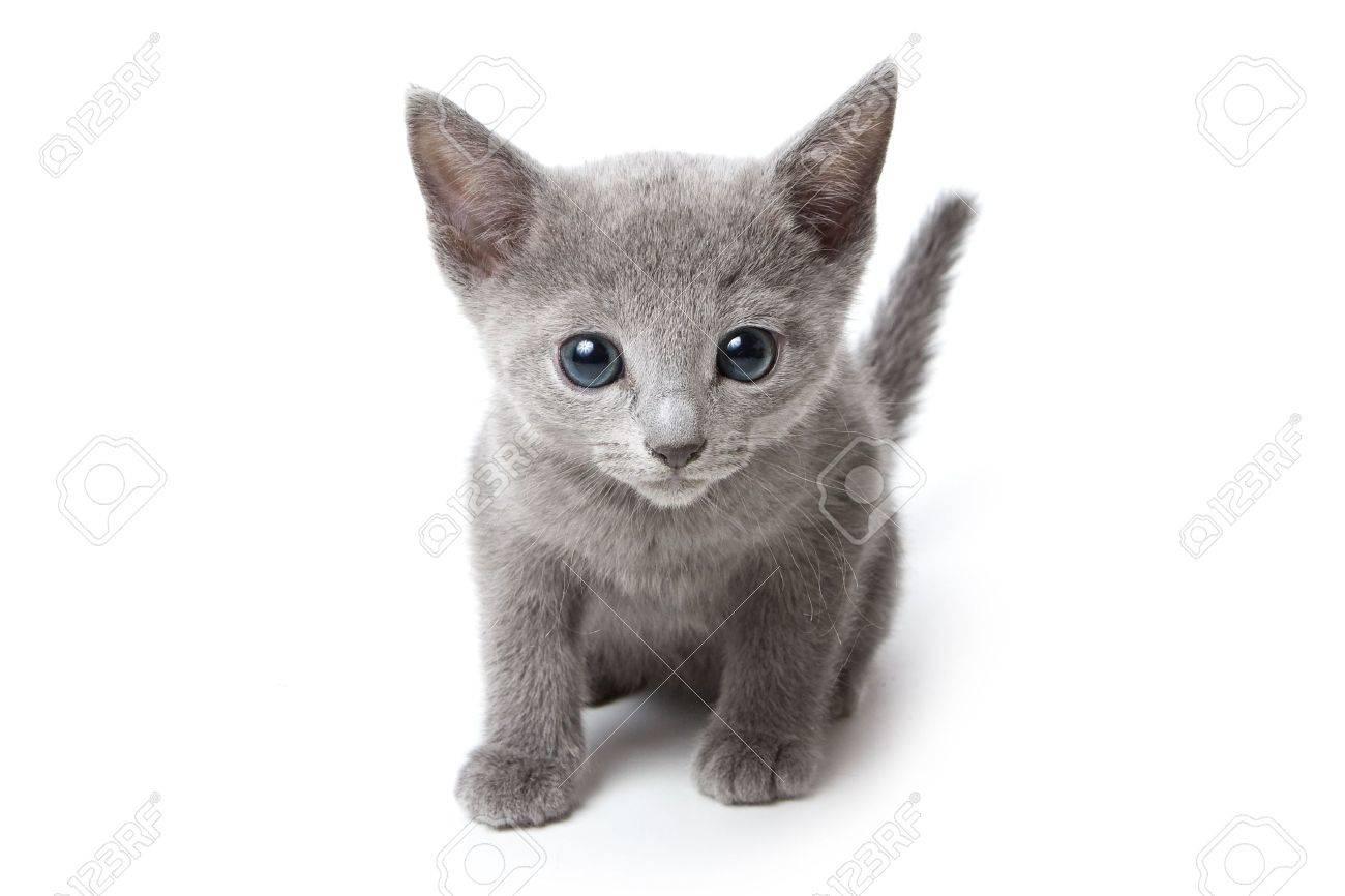 Russian blue kitten on white background - 6794003