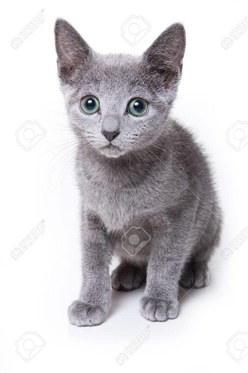 Russian Blue Kitten White Stock Picture And Royalty Free