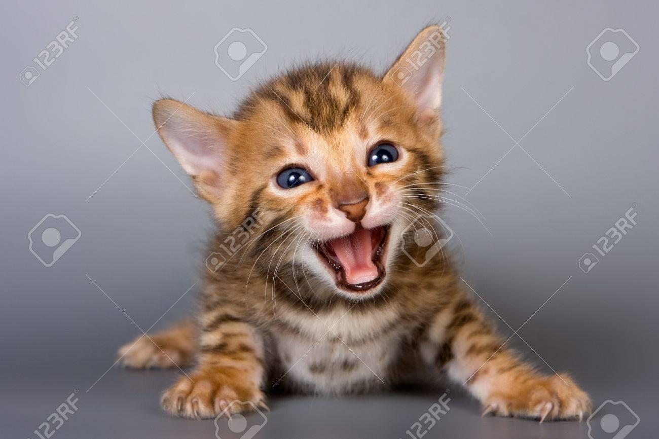 Bengal kitten on grey background - 7883467