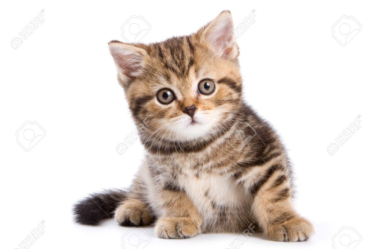 British kittens on white backgrounds - 8064535