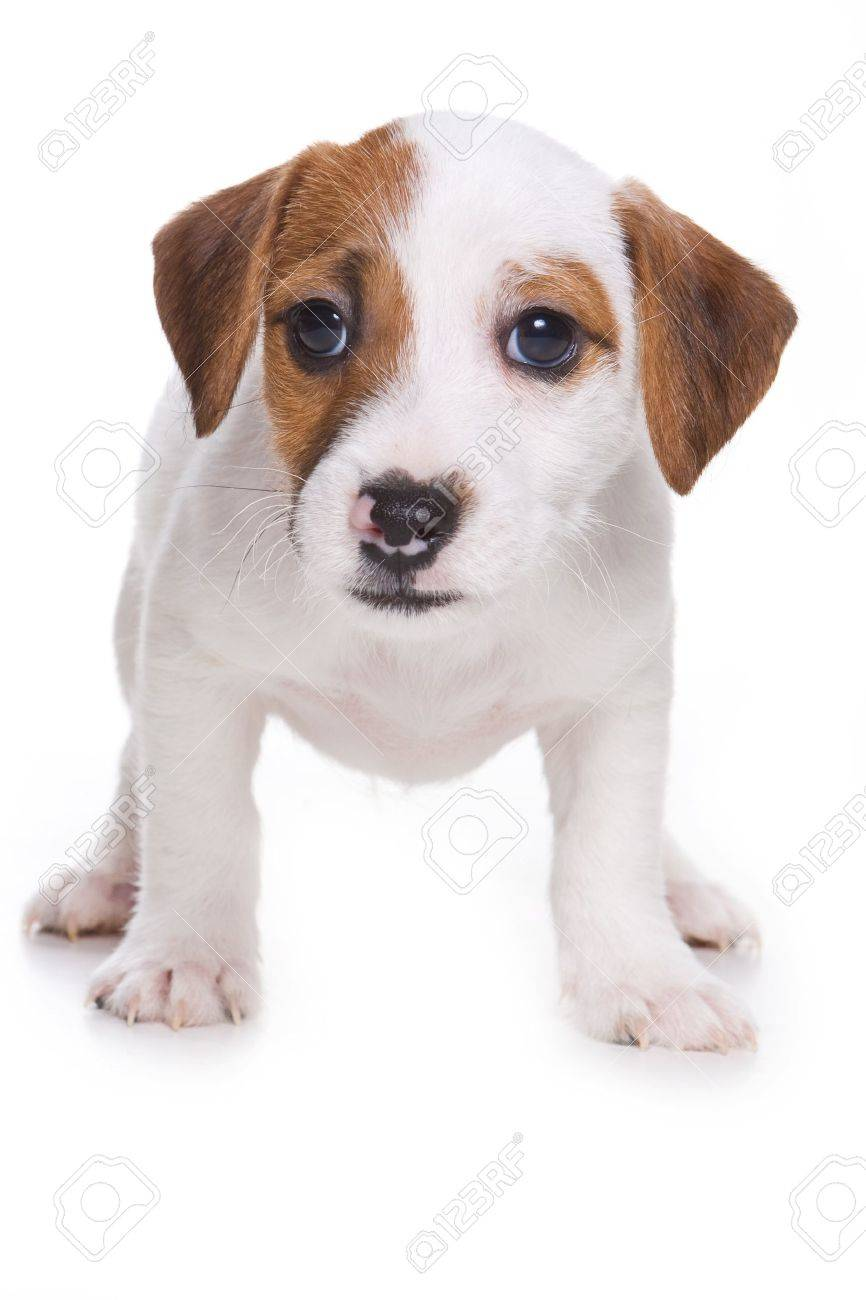 Jack Russell Terrier puppy on white - 8064543