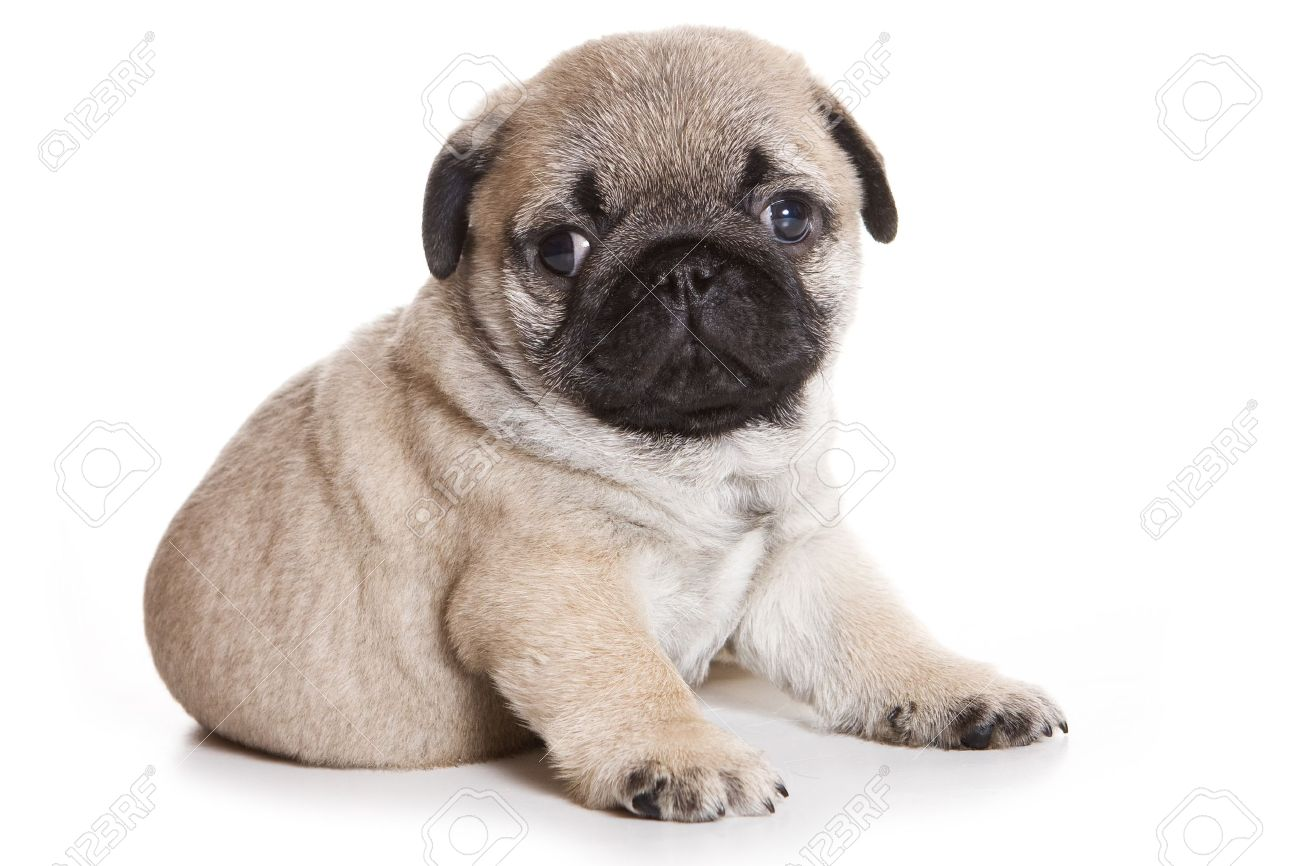 Pug Puppy On White Background Stock Photo Picture And Royalty Free Image Image 8198187