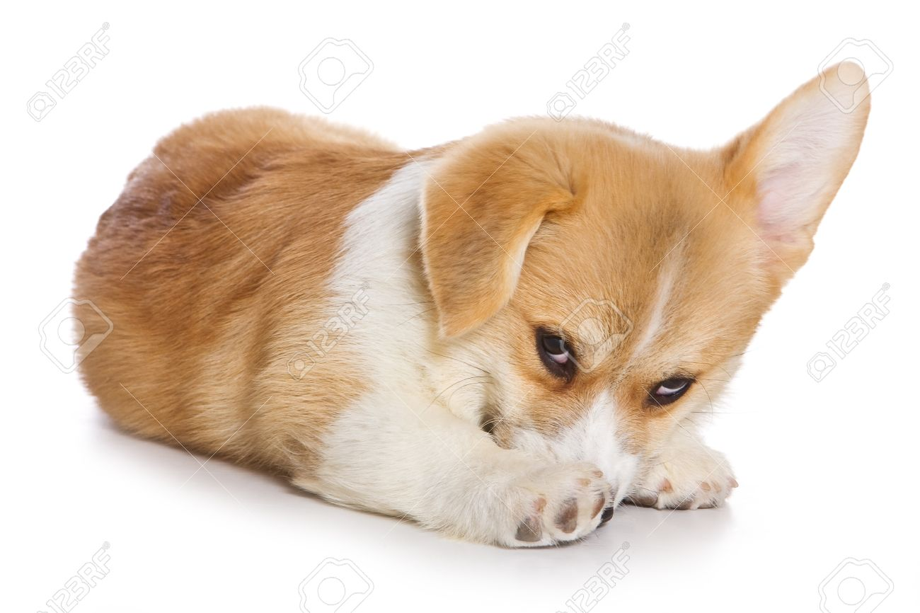 Corgi puppy on white background - 8388449