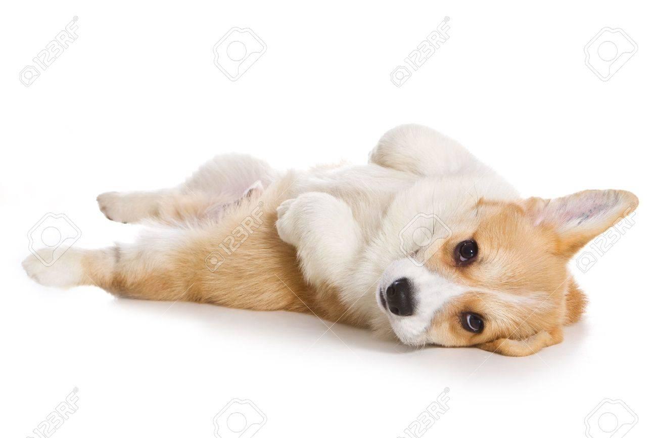Corgi puppy on white background - 8463134