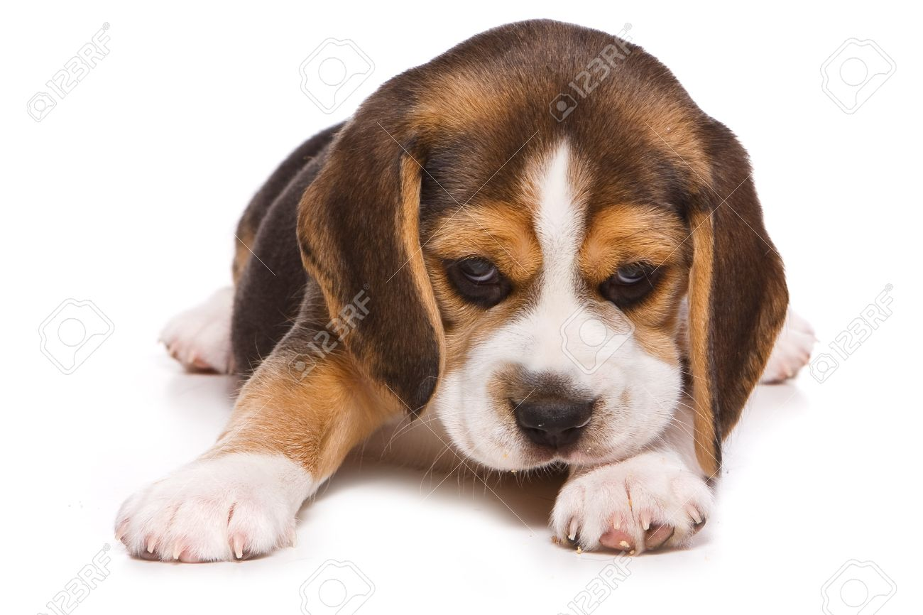 Beagle puppy on white background - 9124354